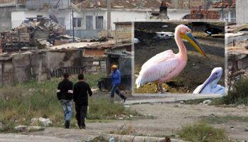 Роми ловят розови пеликани, готвят ги с кисело зеле